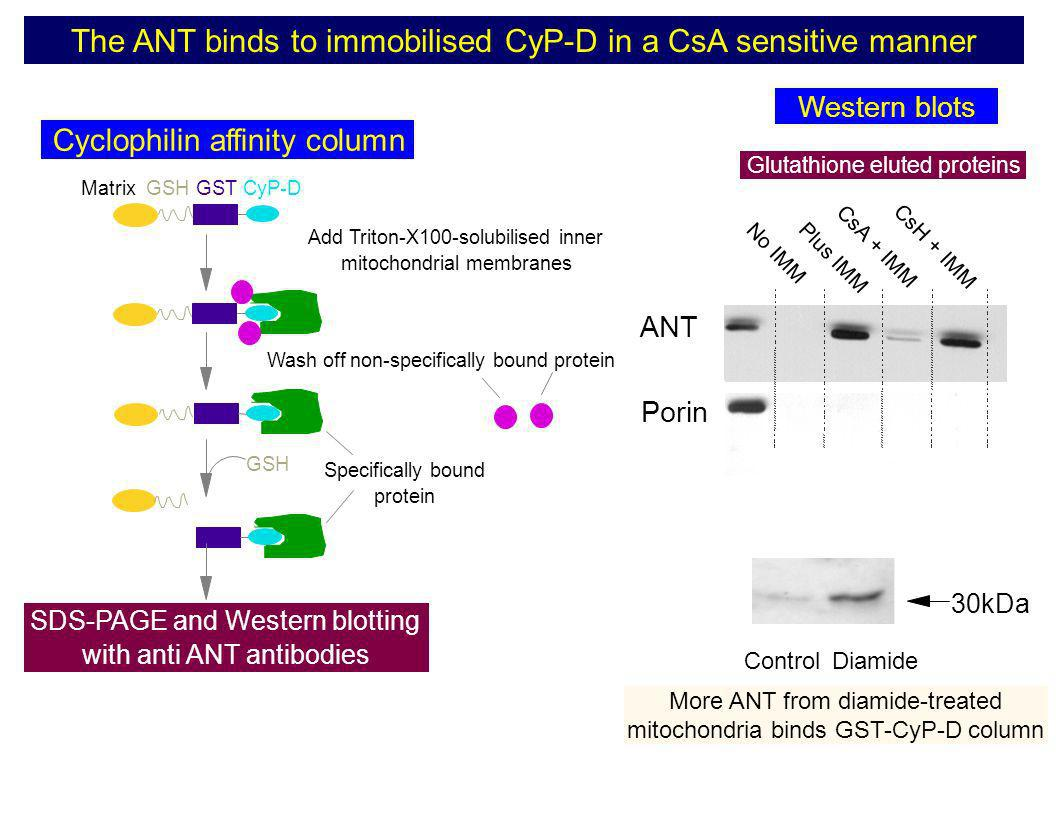 The ANT binds to immobilised CyP-D in a CsA sensitive manner
