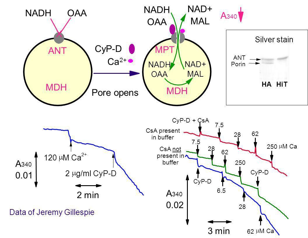NADH NAD+ NADH OAA A OAA MAL X CyP-D ANT MPT Ca MDH MDH Pore opens A