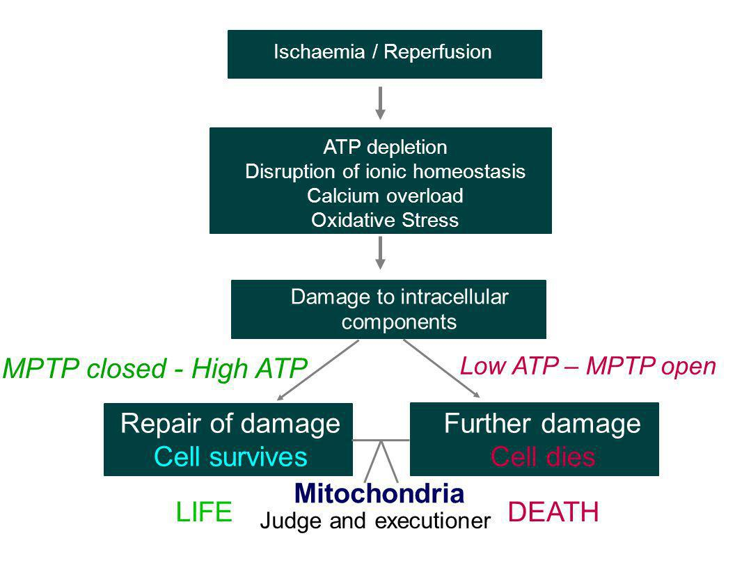 Repair of damage Cell survives Further damage Cell dies