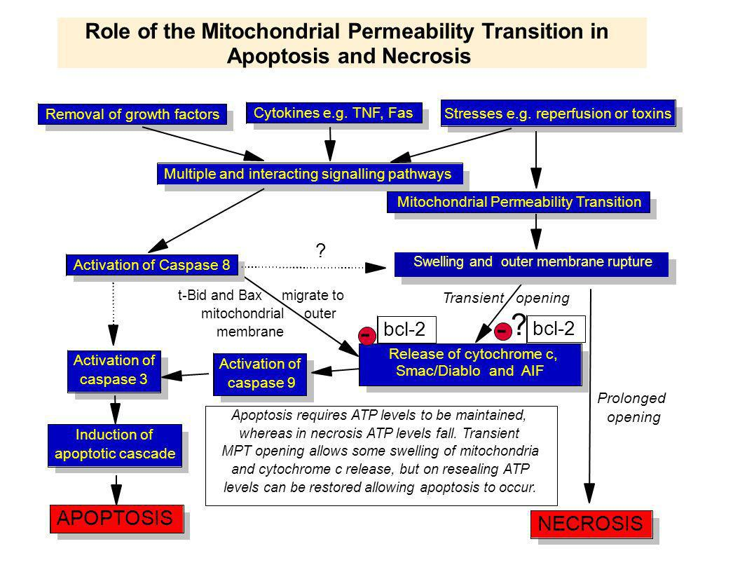 - - Role of the Mitochondrial Permeability Transition in