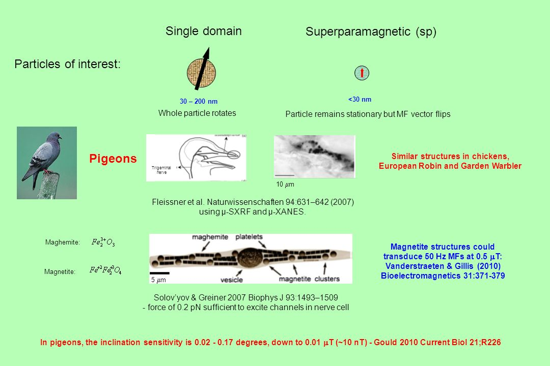 ─ Single domain Superparamagnetic (sp) Particles of interest: Pigeons