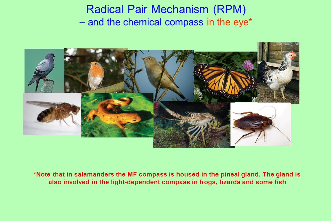 Radical Pair Mechanism (RPM) – and the chemical compass in the eye*