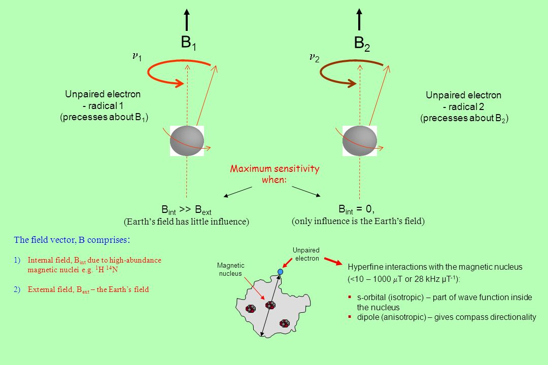 B1 B2 n1 n2 Bint >> Bext Bint = 0, Unpaired electron