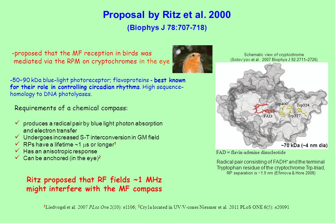 Proposal by Ritz et al (Biophys J 78: )