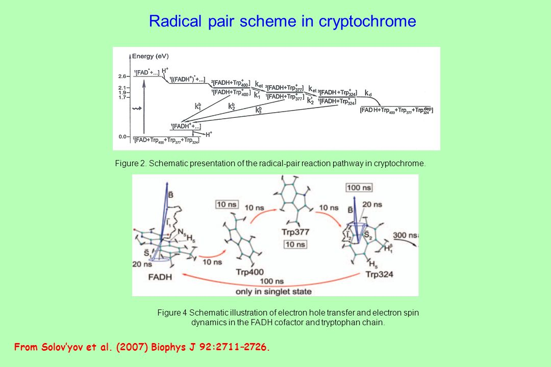 Radical pair scheme in cryptochrome