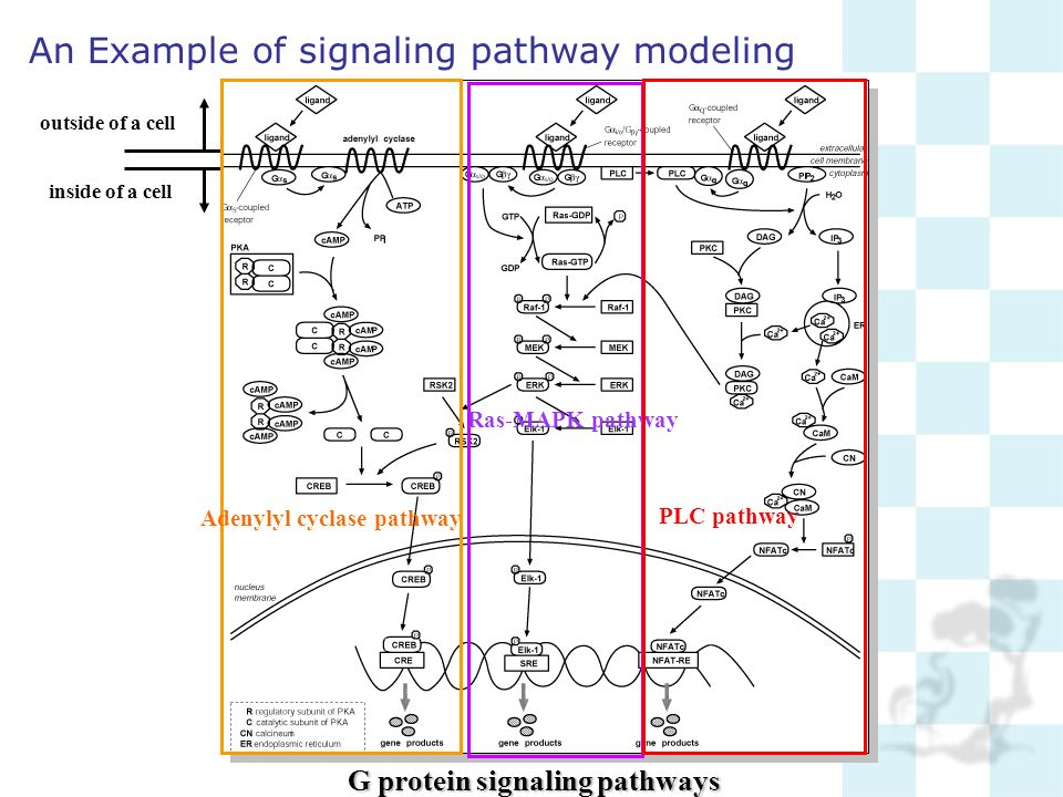 An Example of signaling pathway modeling