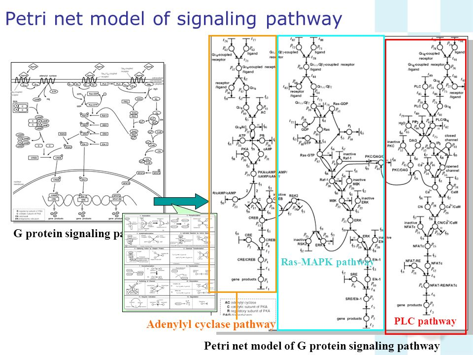 Petri net model of signaling pathway