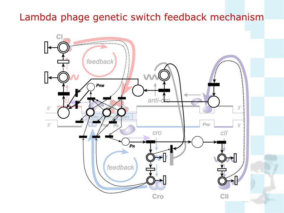 Lambda phage genetic switch feedback mechanism