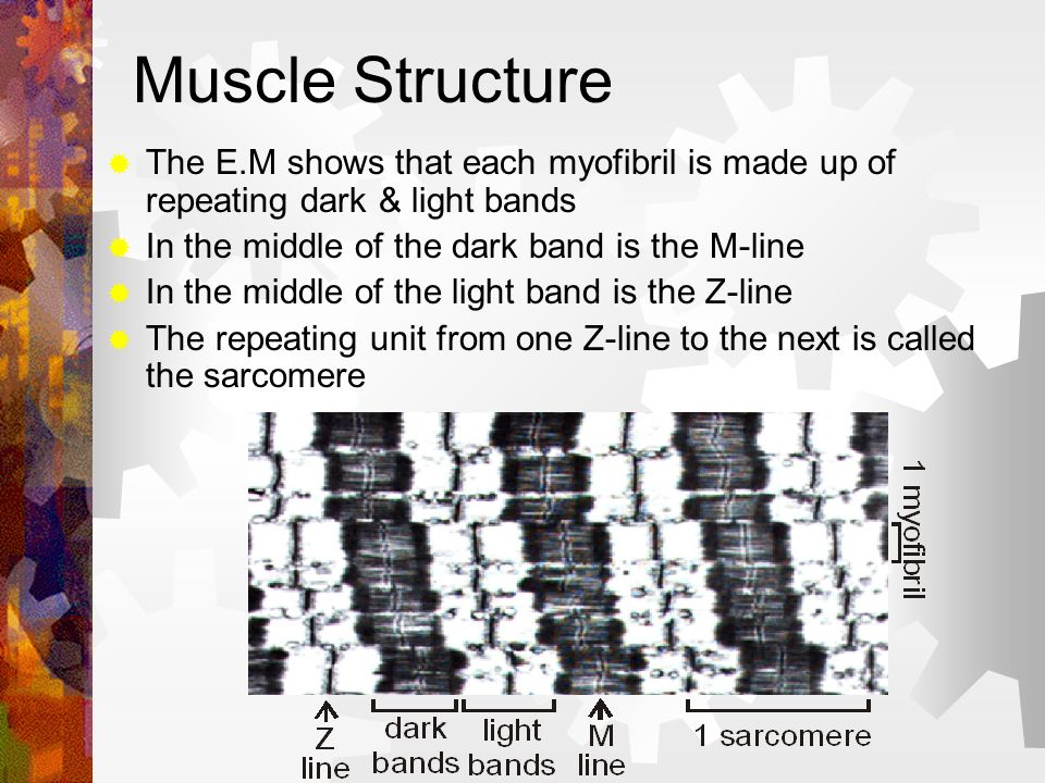 Muscle Structure The E.M shows that each myofibril is made up of repeating dark & light bands. In the middle of the dark band is the M-line.