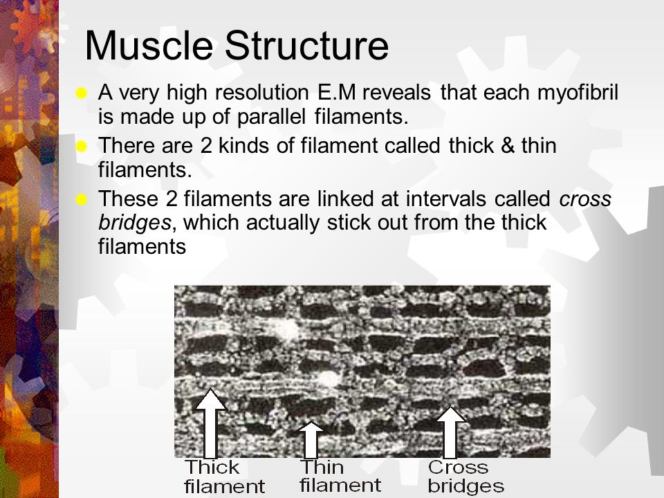 Muscle StructureA very high resolution E.M reveals that each myofibril is made up of parallel filaments.