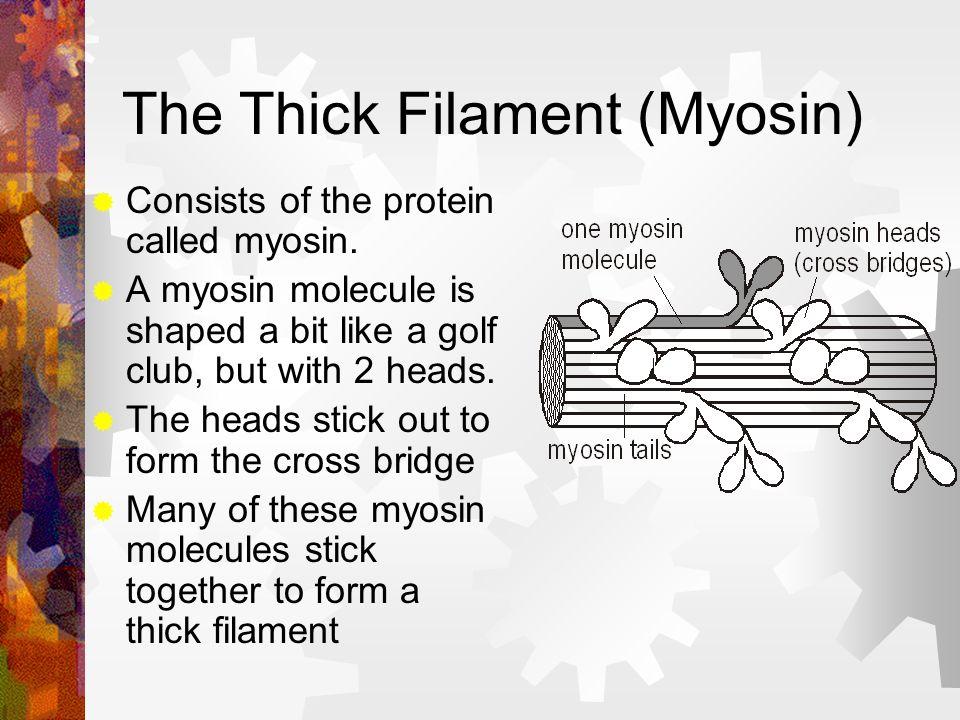 The Thick Filament (Myosin)