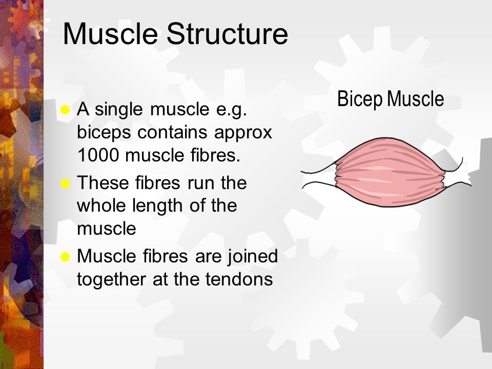 Muscle Structure Bicep Muscle