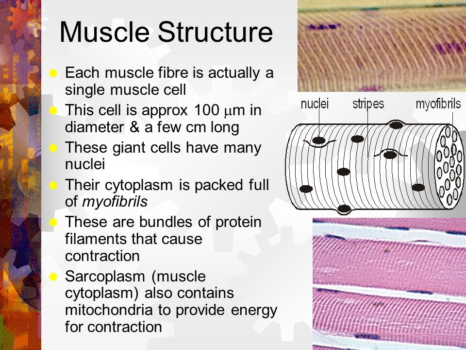 Muscle Structure Each muscle fibre is actually a single muscle cell