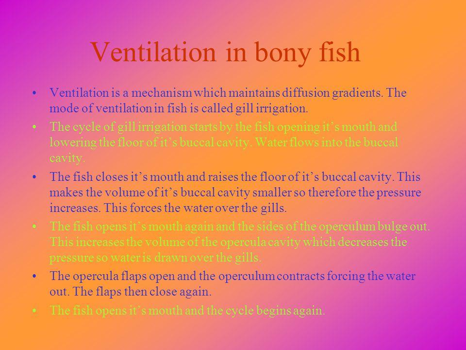 Ventilation in bony fish