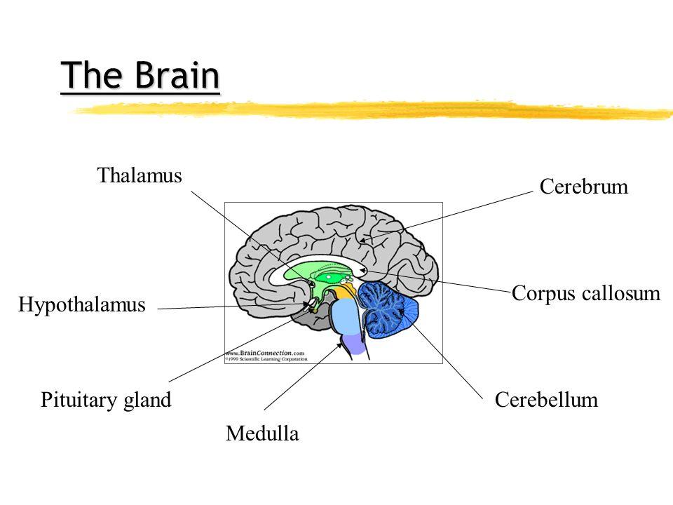 The Brain Thalamus Cerebrum Corpus callosum Hypothalamus