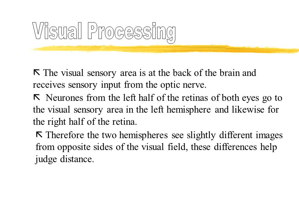 Visual Processing  The visual sensory area is at the back of the brain and receives sensory input from the optic nerve.