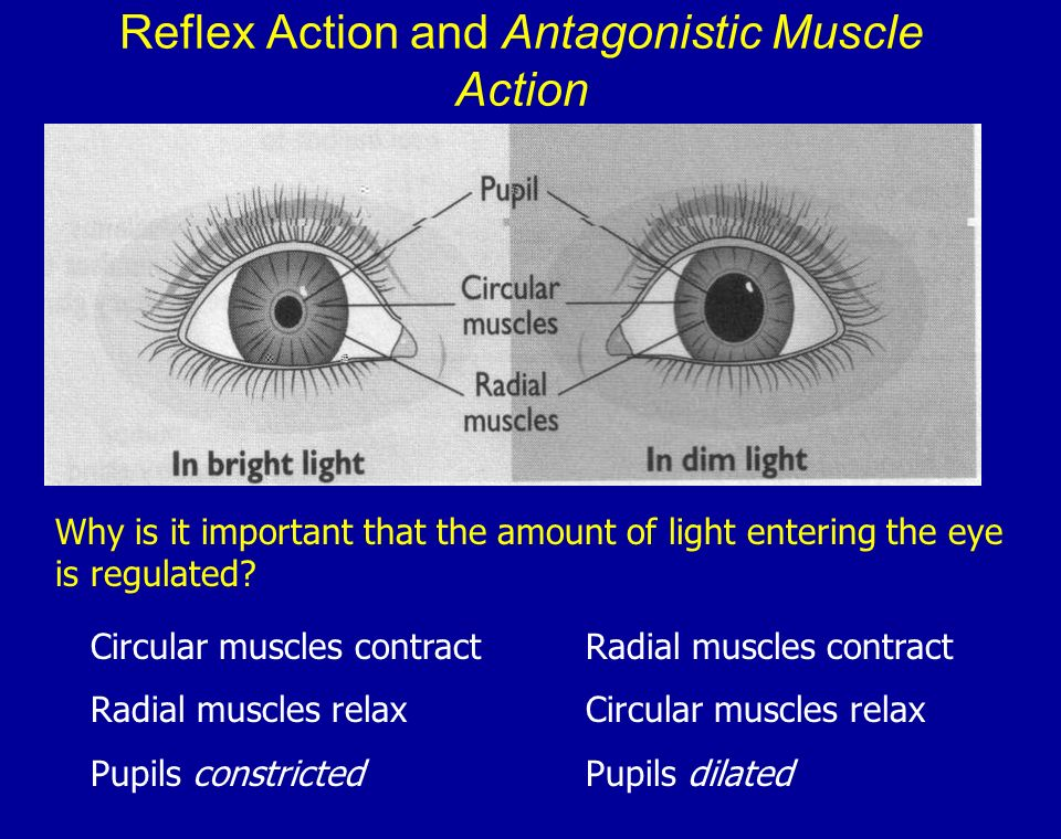Reflex Action and Antagonistic Muscle Action