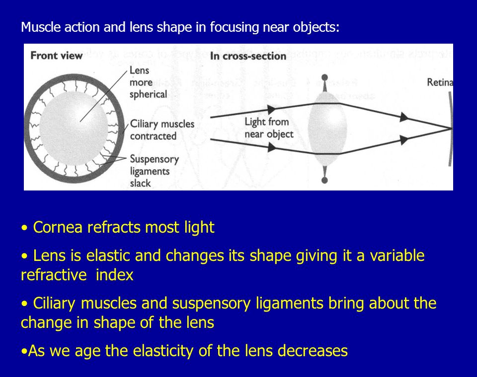 Cornea refracts most light