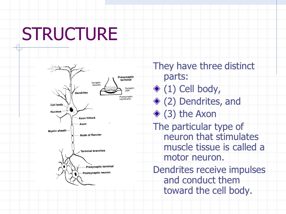 STRUCTURE They have three distinct parts: (1) Cell body,