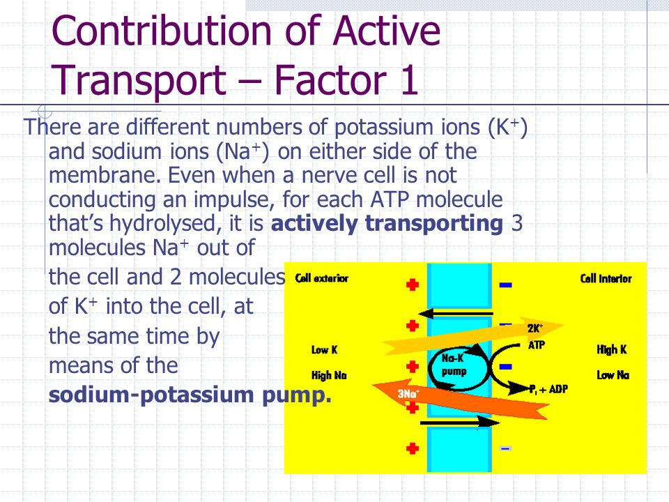 Contribution of Active Transport – Factor 1