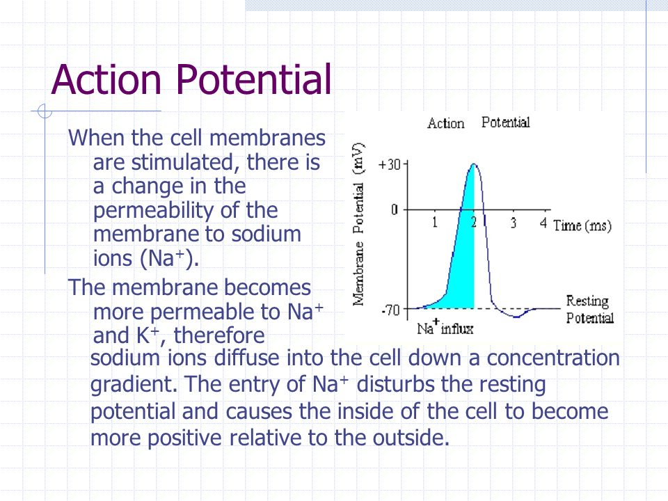 Action Potential When the cell membranes are stimulated, there is a change in the permeability of the membrane to sodium ions (Na+).