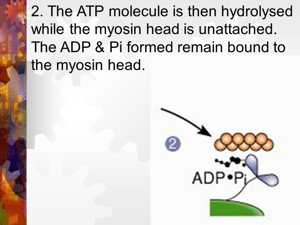 2. The ATP molecule is then hydrolysed while the myosin head is unattached.