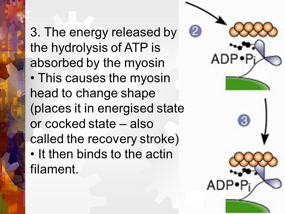 3. The energy released by the hydrolysis of ATP is absorbed by the myosin
