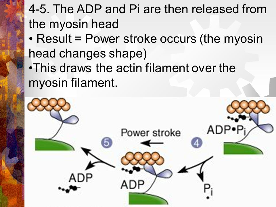 4-5. The ADP and Pi are then released from the myosin head