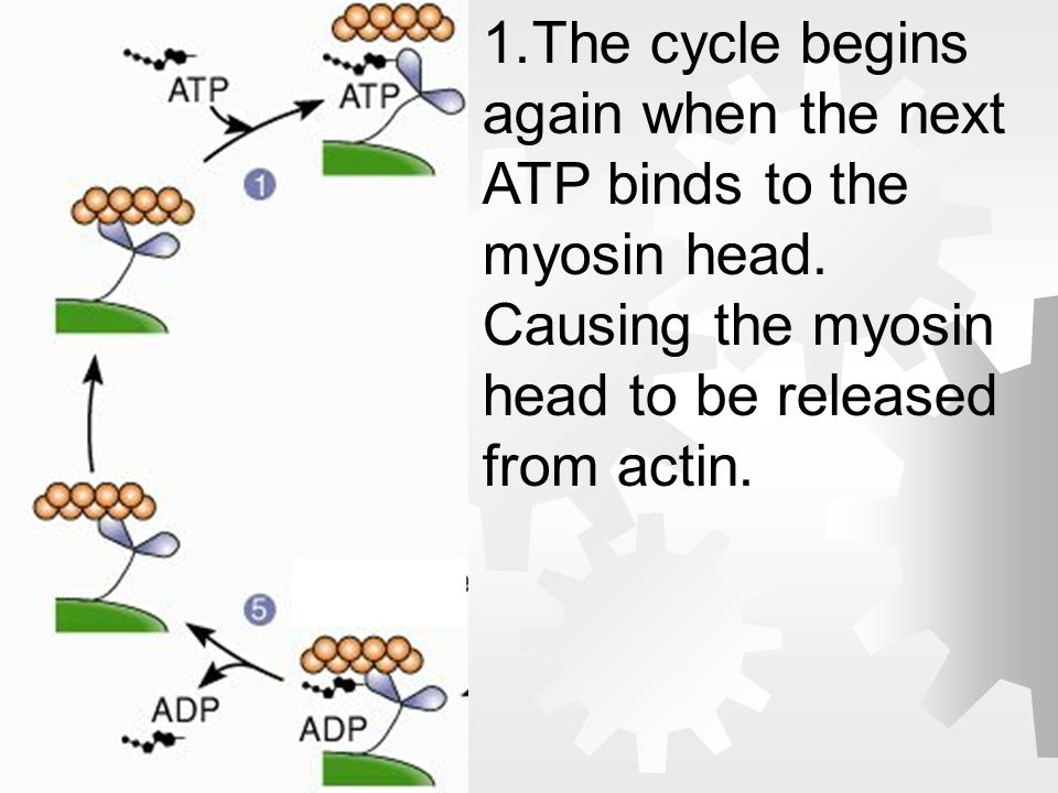 The cycle begins again when the next ATP binds to the myosin head