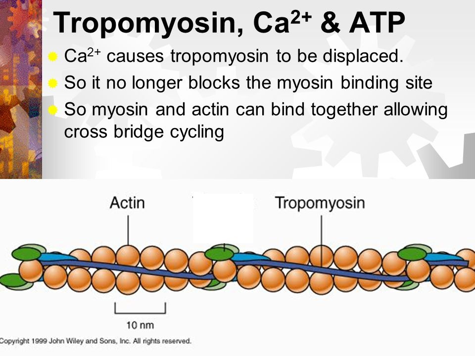 Tropomyosin, Ca2+ & ATP Ca2+ causes tropomyosin to be displaced.