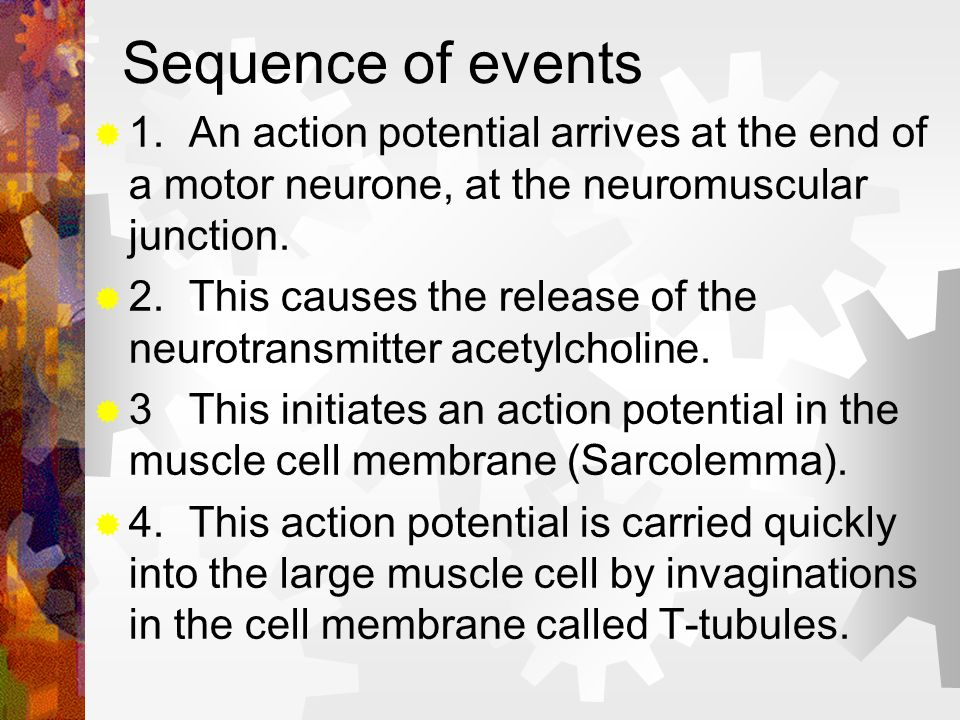 Sequence of events 1. An action potential arrives at the end of a motor neurone, at the neuromuscular junction.