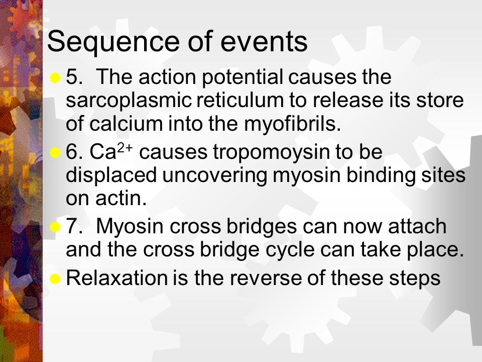 Sequence of events 5. The action potential causes the sarcoplasmic reticulum to release its store of calcium into the myofibrils.