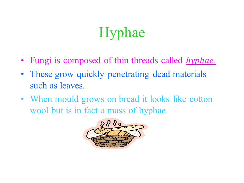 Hyphae Fungi is composed of thin threads called hyphae.