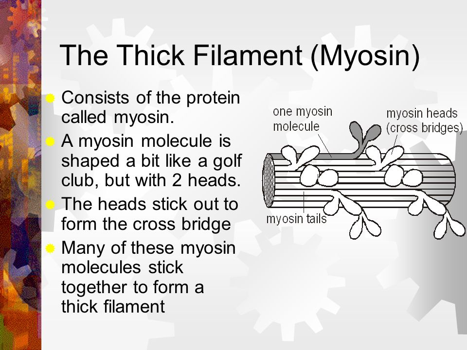 The Thick Filament (Myosin)