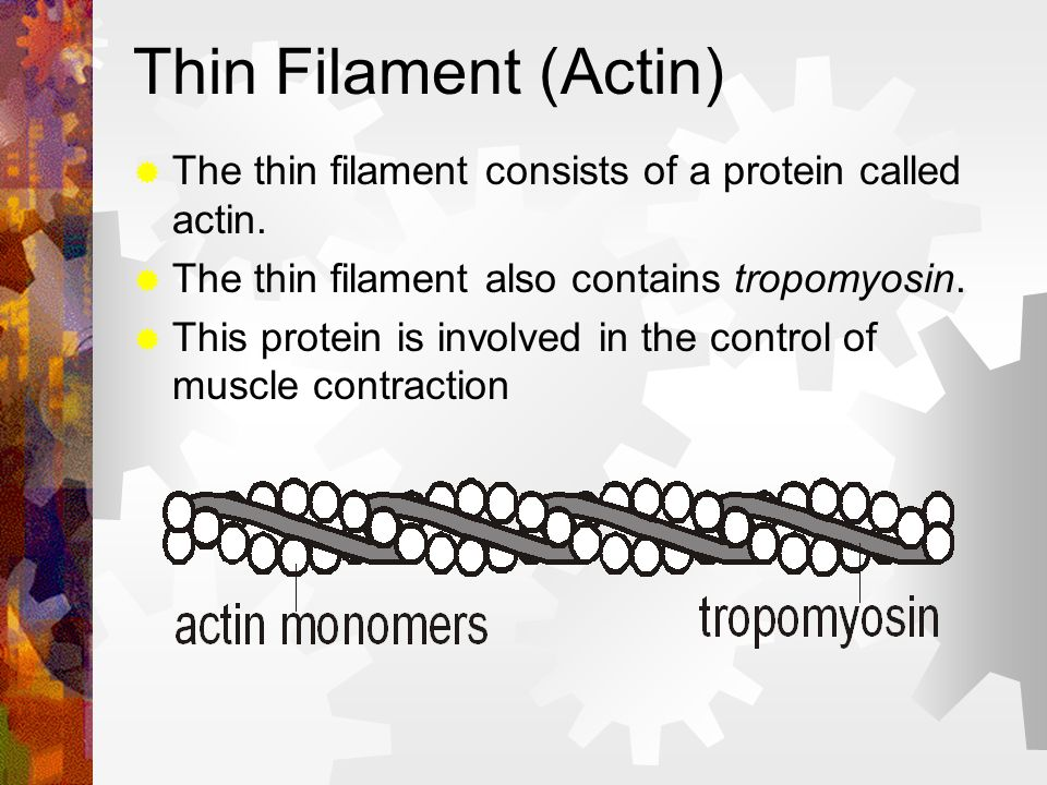 Thin Filament (Actin) The thin filament consists of a protein called actin. The thin filament also contains tropomyosin.