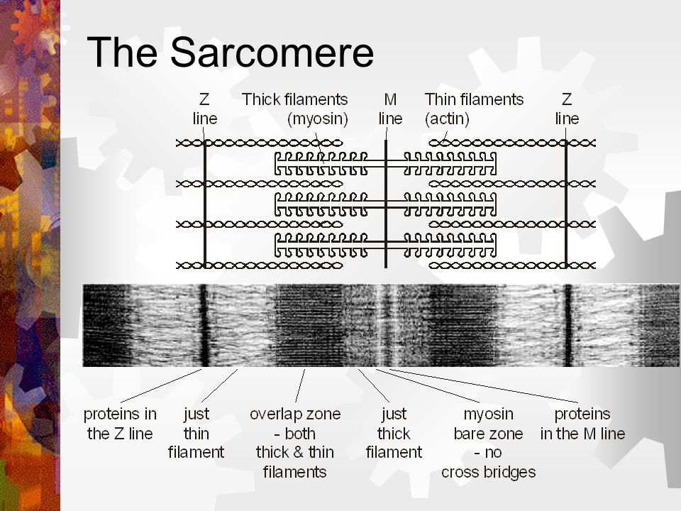 The Sarcomere