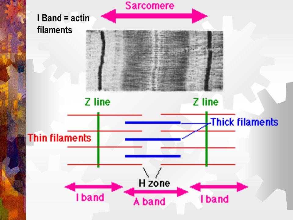 I Band = actin filaments