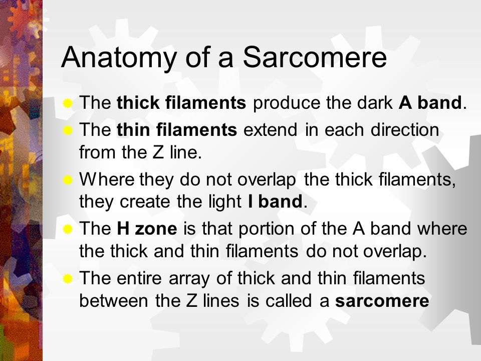 Anatomy of a Sarcomere The thick filaments produce the dark A band.