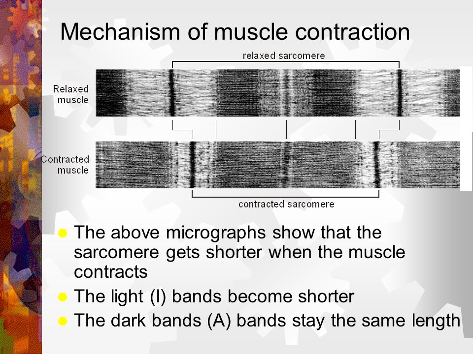 Mechanism of muscle contraction