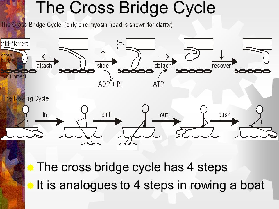 The Cross Bridge Cycle The cross bridge cycle has 4 steps