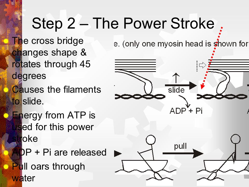 Step 2 – The Power Stroke The cross bridge changes shape & rotates through 45 degrees. Causes the filaments to slide.