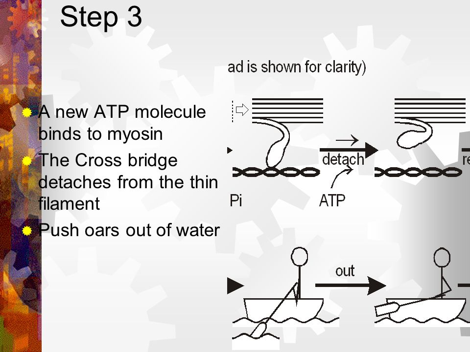 Step 3 A new ATP molecule binds to myosin