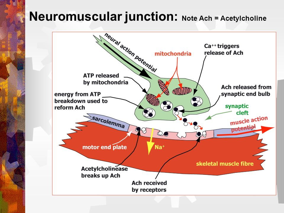 Neuromuscular junction: Note Ach = Acetylcholine