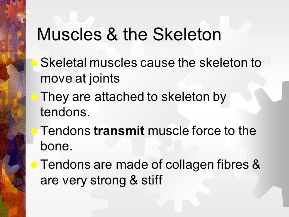 Muscles & the Skeleton Skeletal muscles cause the skeleton to move at joints. They are attached to skeleton by tendons.
