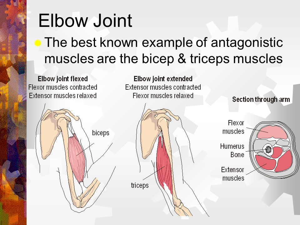 Elbow Joint The best known example of antagonistic muscles are the bicep & triceps muscles