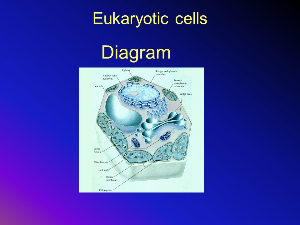 Eukaryotic cells Diagram
