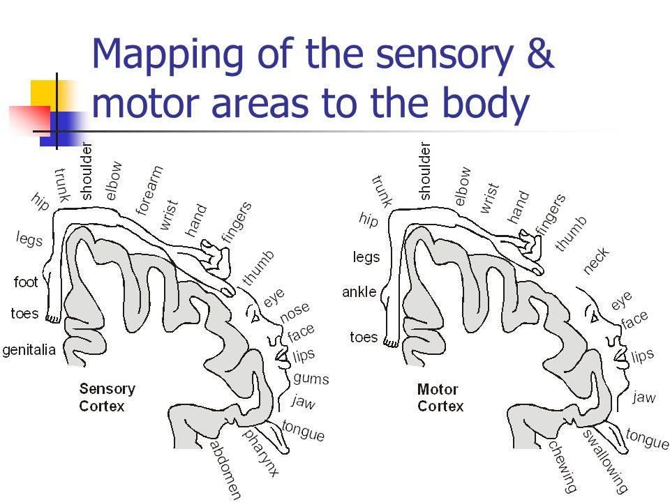 Mapping of the sensory & motor areas to the body
