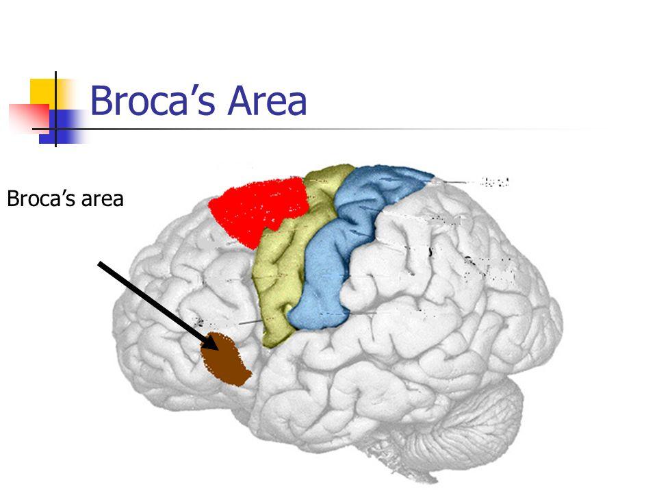 Broca's Area Broca's area
