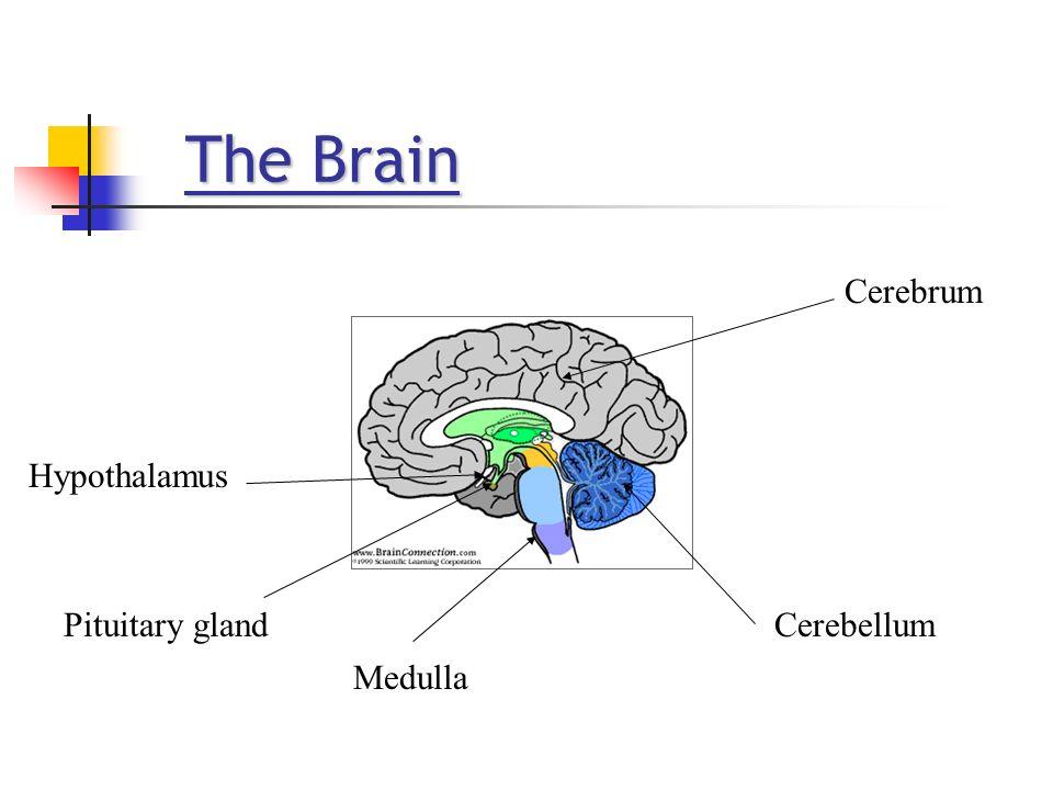 The Brain Cerebrum Hypothalamus Pituitary gland Cerebellum Medulla