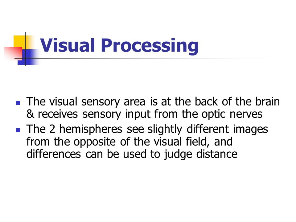 Visual Processing The visual sensory area is at the back of the brain & receives sensory input from the optic nerves.